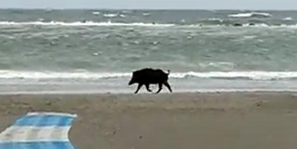 Cinghiale in spiaggia a Punta Marina
