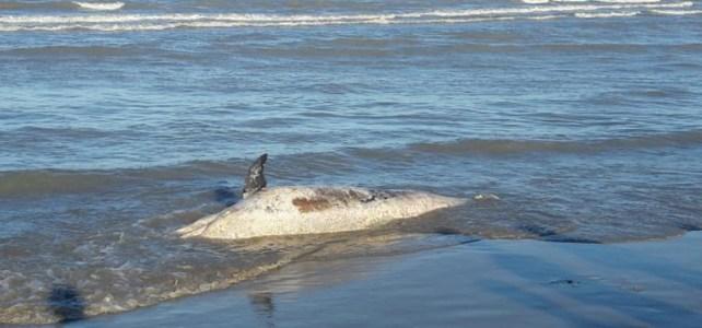 delfino spiaggiato a cesenatico