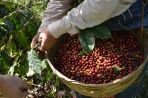 Coop. EL Jabali Comercio Justo El Salvador (38)