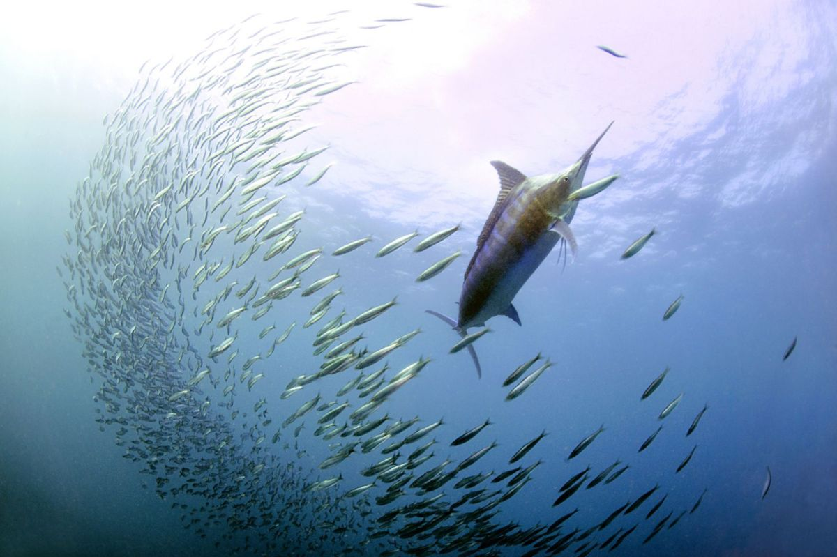 Photo credit - Daniel Botelho - Blue marlin with sardines (DLB_6599)