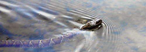 4-25_canal_water_snake_ps_rz