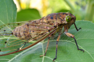 """Seventeen year cicadas """"shocked"""" by failed climate predictions"""
