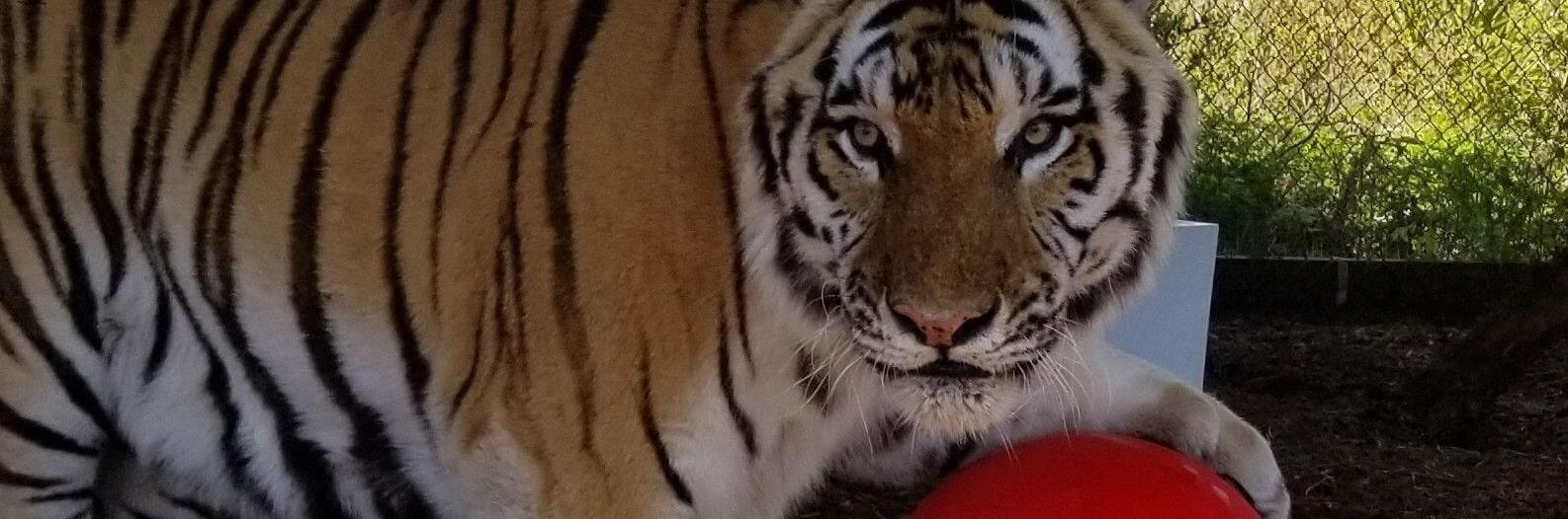 Bengal Tiger - Central Florida Animal Reserve