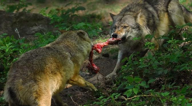 """Antonio Iannibelli: """"Il lupo che non conosci"""""""