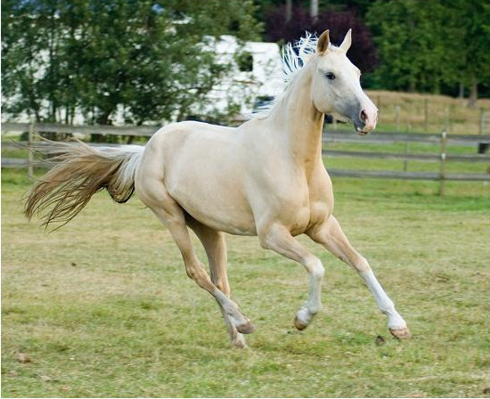 Kamilishen - 2005 mare bred by Cascade Gold, owned by Darla Dickenson