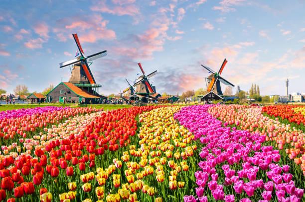 离开荷兰后才发现:鬼地方,我是那么的想念你 Netherlands flowers