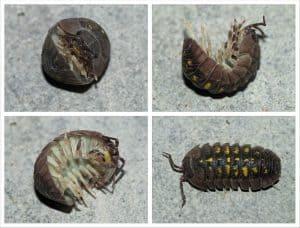 pill bug rollie pollie doodle bug