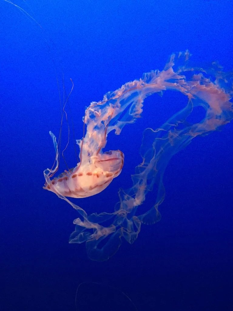 monterey bay aquarium jelly fish