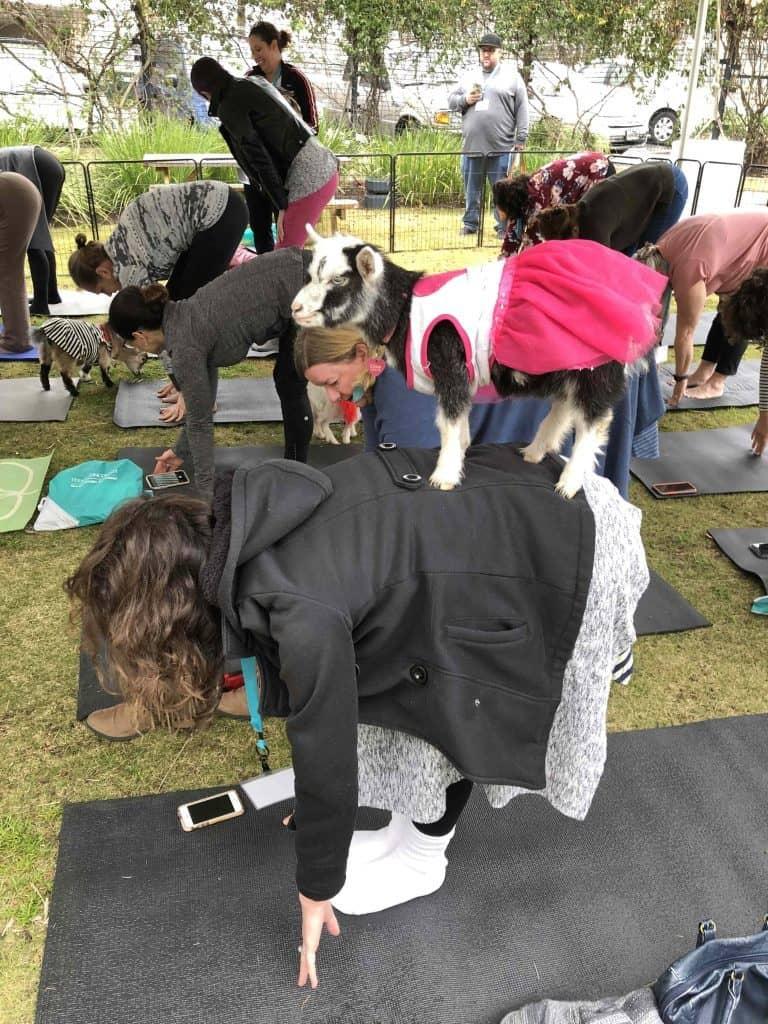 goat yoga in austin texas