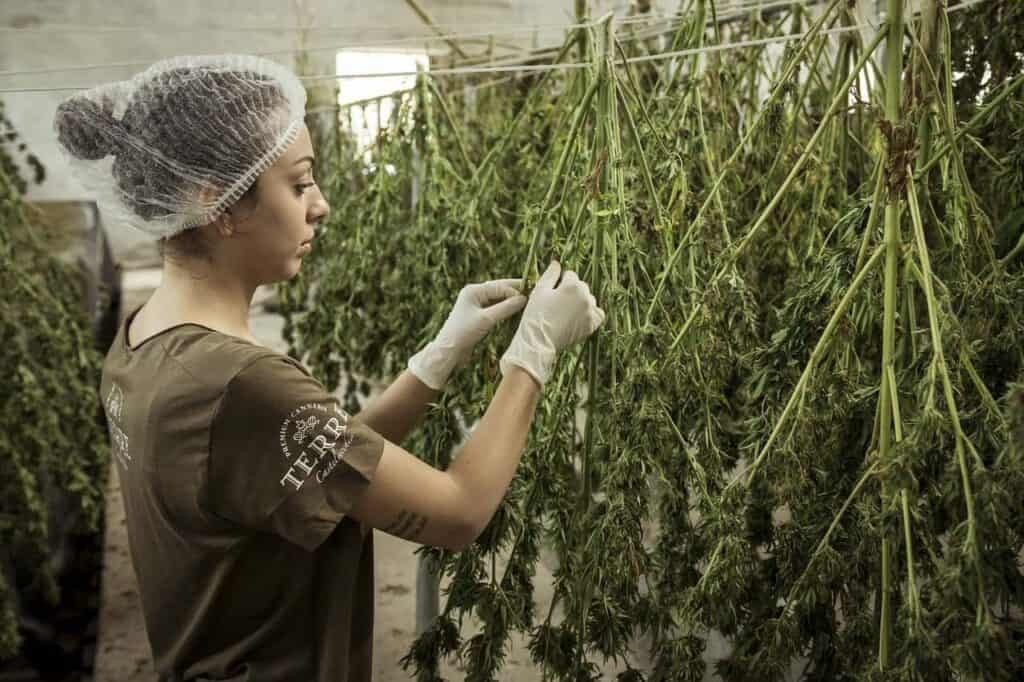 picking leaves cannabis plant for CBD
