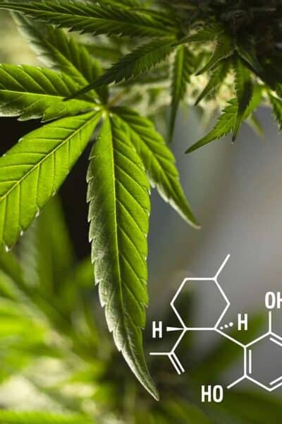 leaves cannabis plant for CBD
