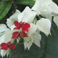 ブラジルの植物 2. キリストの涙
