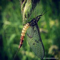 Andrea's Mayfly