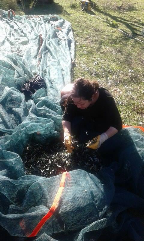olive harvest in Chamaloni Cottages