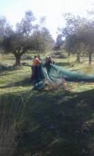 olive-harvest-agrotourism-finikounda