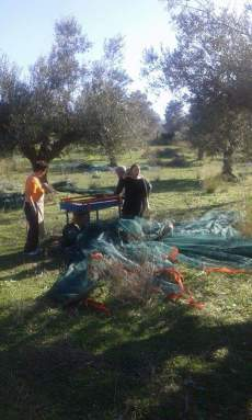olive-harvest-agrotourism-messinia