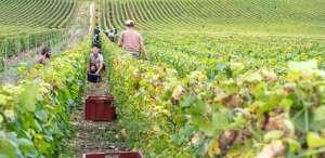 vendanges dans les vignes Mannoury