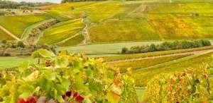 vignes automne Mannoury