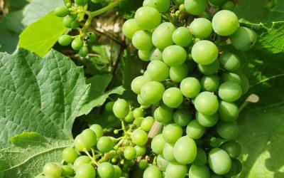 De beaux raisins !