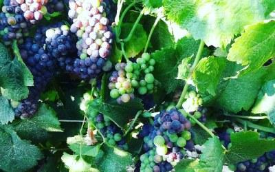 Toujours de beaux raisins !