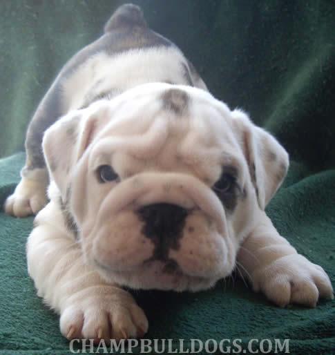 White English Bulldog Kennels