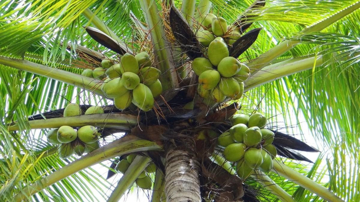 Coconut (Cocos Nucifera)