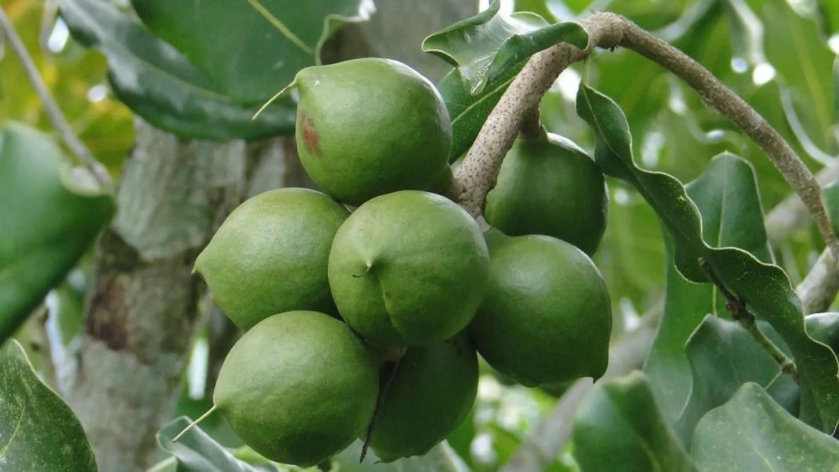 Macadamia (Macadamia Integrifolia)