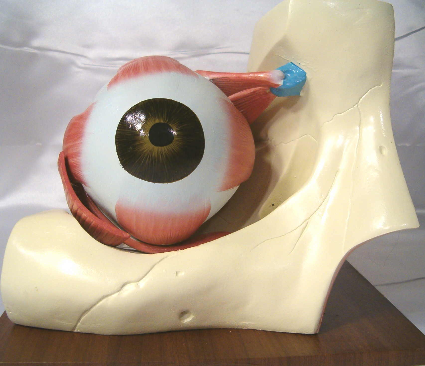 Cow Eye Dissection Lab Worksheet