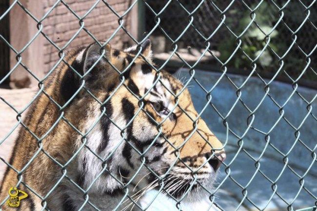 Tigre-Zoologico-de-Morelia-3