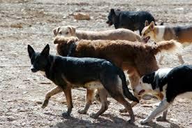 jauria de perros callejeros