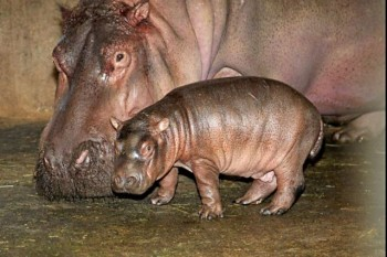 hipopotamo bebe mama