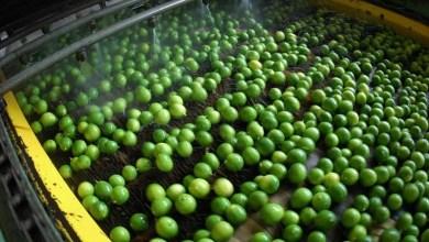 producción de limón en Michoacán