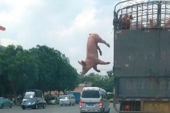 puerco escapa cerdo china