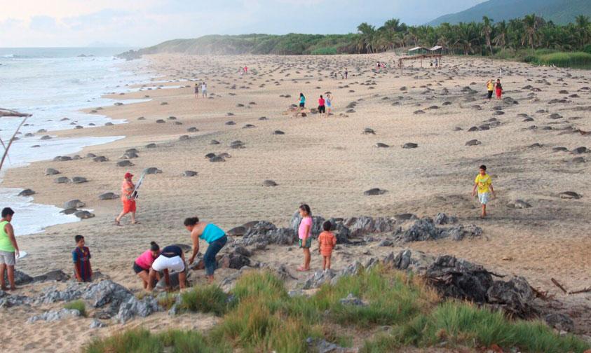 arribo-tortugas-Michoacan