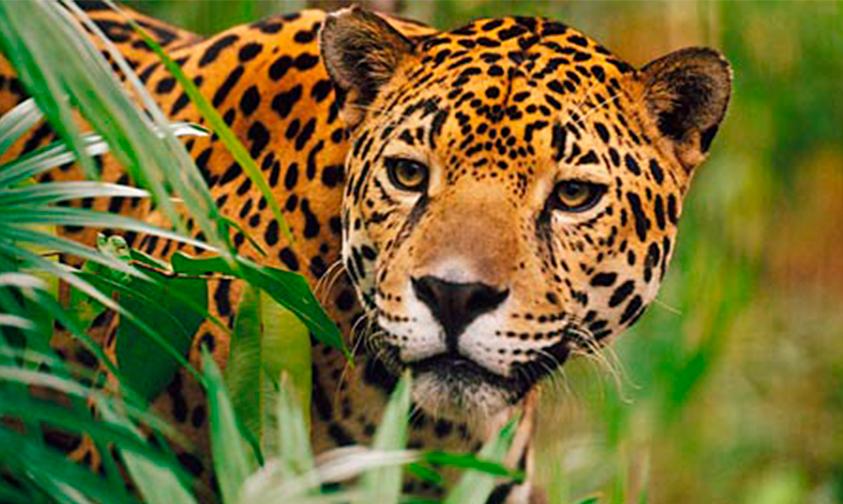 jaguar-Michoacán-hallazgo