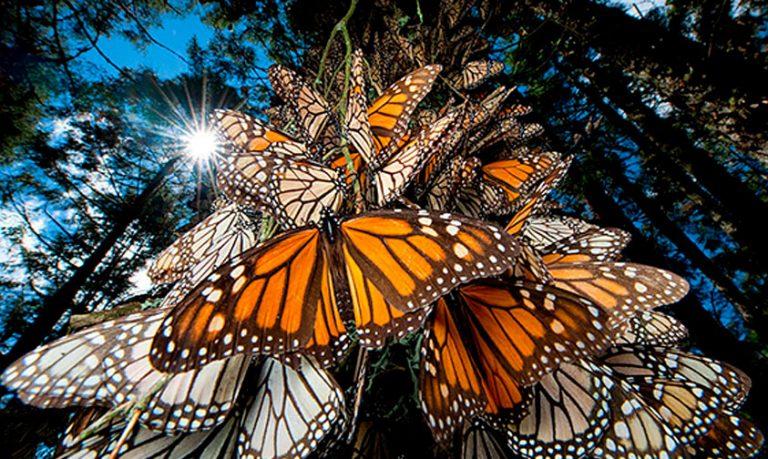 mariposa-Monarca-santuario