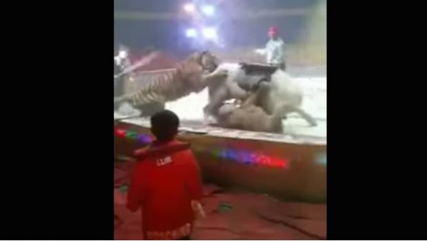 #DeShock Tigre Y Leona Atacan A Caballo En Show De Circo