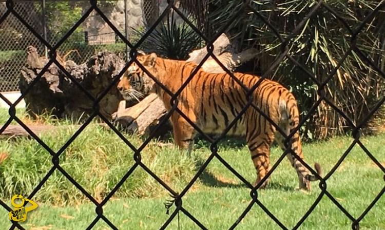 Tigre Zoologico
