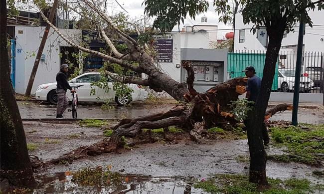 lluvia árbol Morelia caída b
