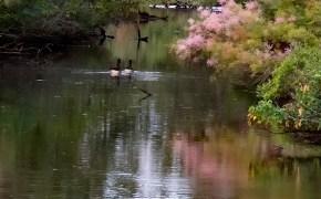 Ducks on Chicnoteague Island