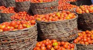 Tomato disease, Kaduna, tomato blight, tomato farms