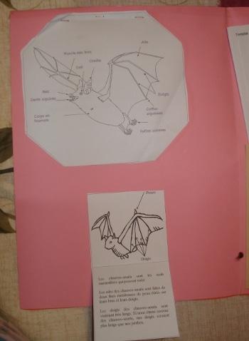 Lapbook Les Chauves-souris