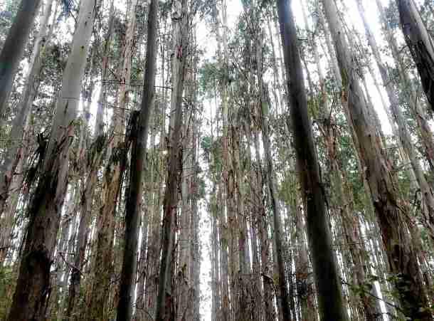 Durch die Eukalyptuswälder führt der Weg.