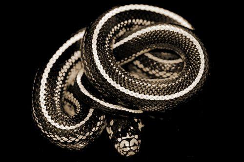 Le Livre du Serpent Noir [1] | Rat Holes