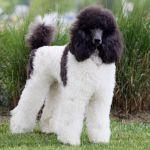 Harlequin Poodles