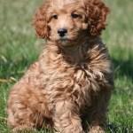 Mini Poodles