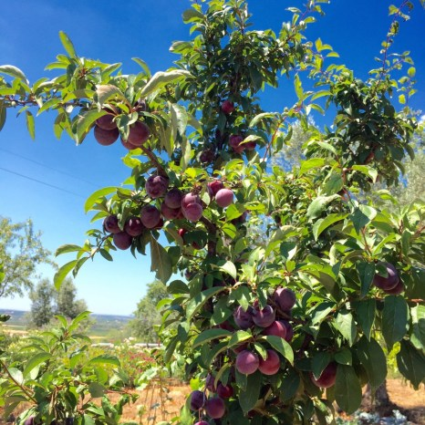 chapter fifty health sugar free chia seed plum jam