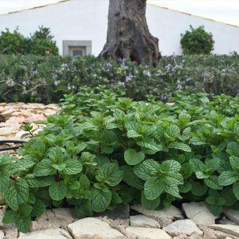 Chapter FIfty health kitchen garden organic home grown fresh mint