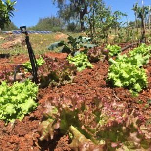 Chapter FIfty health kitchen garden organic home grown lettuce
