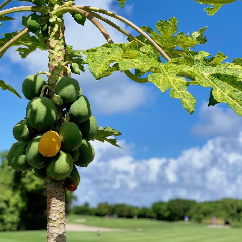 golf dominican republic papaya